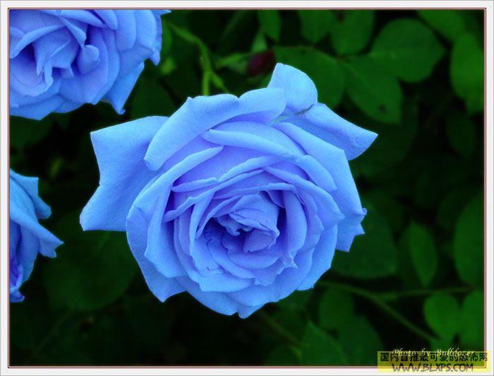 闪光蓝玫瑰花-只有玫瑰园里,有一朵特别美的蓝玫瑰,经常闪烁着露珠,就好像哭过
